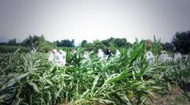 No GMOs: activists destroy a GM Mon810 maize field in North-East of Italy